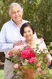 Höga latinamerikanska par som arbetar i trädgården som Tidying krukor Fotografering för Bildbyråer