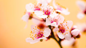 Höga nyckel- Pinky Cherry Blossom Fotografering för Bildbyråer