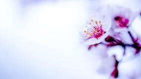 Höga nyckel- Pinky Cherry Blossom Arkivfoto