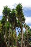 Höga palmliljor royaltyfria foton