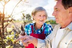 Höga par som beskär äppleträdet Arkivbild
