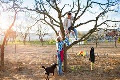 Höga par som beskär äppleträdet Arkivbilder