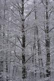 Höga snöig träd Fotografering för Bildbyråer