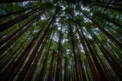 Höga stammar av träd från låg vinkel arkivfoton