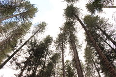 Höga träd för mil Royaltyfri Fotografi