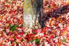 Högar av nedgångsidor för röd lönn spridde runt om grunden av en tr Arkivbilder