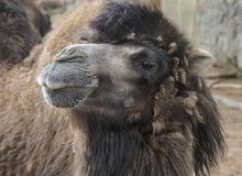 Högdragen kamel Arkivbild