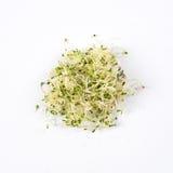 Högen av spirat alfalfafrö, micro gör grön på vit bakgrund Sunt ätabegrepp av ny trädgårds- jordbruksprodukter Fotografering för Bildbyråer