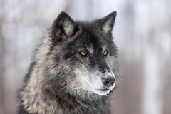 Höger svart profil för fasGrey Wolf Canis lupus Arkivbilder