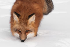 Högert kopieringsutrymme för röd räv (Vulpesvulpes) Arkivfoto