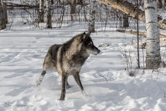 Högert snabbt stopp för svart fasGrey Wolf Canis lupus Royaltyfria Bilder