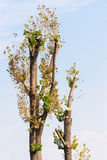 Högg av träd i parkera mot blå himmel Royaltyfri Foto