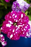 Högkvalitativ bakgrund för blomma för makro för familj för Solanaceae för petuniaaxillarisbritton royaltyfria bilder