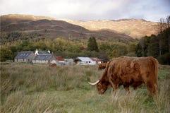 Höglands- ko i en Glen Coe, Skottland Arkivbilder