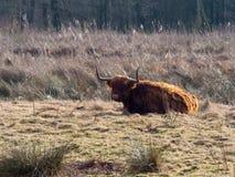 Höglands- ko i fält arkivfoto