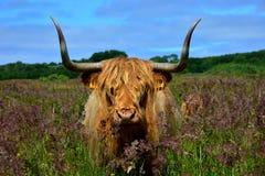 Höglands- ko i holländsk natur royaltyfria bilder