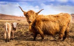 Höglands- ko och kalv Royaltyfria Foton