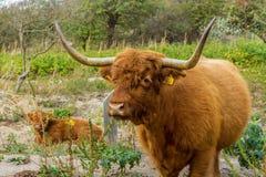 Höglands- ko och kalv i kust- dynregion Royaltyfria Bilder
