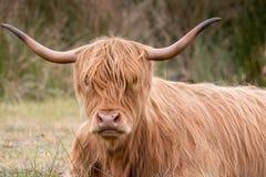 Höglands- ko som äter gräs Royaltyfri Bild