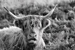Höglands- ko som har precis givits någon dåliga nyheter arkivbild