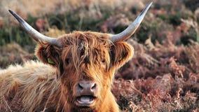 Höglands- ko som lägger ner i gräs- hedland arkivbilder