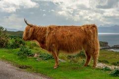 Höglands- kovästkusten Skottland royaltyfri fotografi