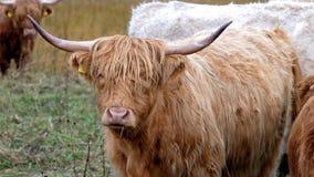 Höglands- nötkreatur - Bo Ghaidhealach - Heilan kuttrande - en skotsk nötkreaturavel med karakteristiska långa horn och länge kra lager videofilmer