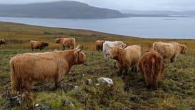 Höglands- nötkreatur - Bo Ghaidhealach - Heilan kuttrande - en skotsk nötkreaturavel med karakteristiska långa horn och länge kra stock video