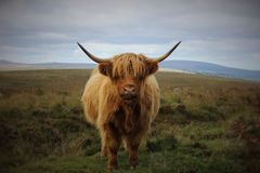 Höglands- nötkreatur, Dartmoor nationalpark, Devon, UK royaltyfri foto
