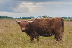 Höglands- nötkreaturtjur på stormiga moln för greenfield bakom royaltyfri bild