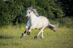 Höglands- ponny Arkivfoton