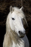 höglands- ponny Royaltyfri Fotografi