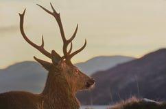 Höglands- röd fullvuxen hankronhjort, Knoydart, Skottland Arkivbilder