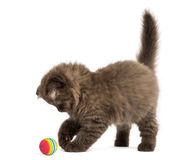 Höglands- veckkattungeanseende som spelar med en boll som isoleras på Arkivbild
