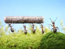 högsta hanterande teamworkarbete för myror Royaltyfria Foton
