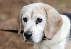 Högt fotografi för adoption för beaglehundhusdjur Royaltyfria Foton