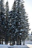 Högt gammalt prydligt träd i det insnöat snön Fotografering för Bildbyråer