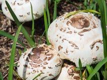 Högt giftiga champinjonChlorophyllum molybdites, som har de gemensamma namnen av den falska slags solskydd, gräsplan-spored Lepio royaltyfri fotografi