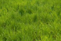 högt gräs Arkivbilder