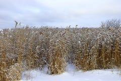 Högt gräs i ett fält som täckas i ny snö Royaltyfria Bilder