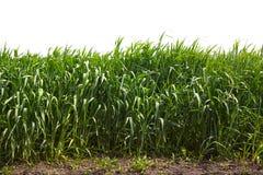 Högt grönt gräs arkivfoto