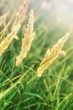 Högt torrt gräs Arkivbilder