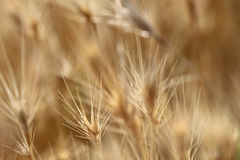 Högt torrt gräs för Closeup Royaltyfri Bild