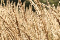 Högt torrt gräs för närbild royaltyfri fotografi