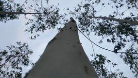 Högväxt av trädet Royaltyfria Bilder