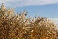 Högväxt bakgrund för torrt gräs arkivbilder