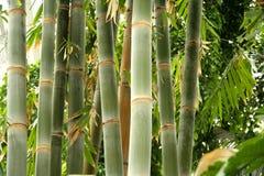 högväxt bambu Arkivfoto