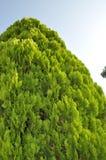 Högväxt barrträdträd Fotografering för Bildbyråer