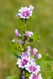 högväxt blomma Royaltyfri Fotografi