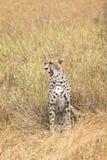 högväxt cheetahgräs Arkivfoton